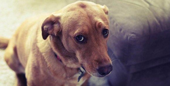 Perro y la mirada de culpa