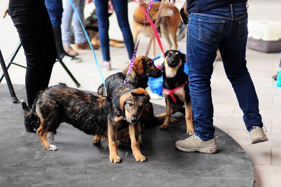 Promulgaron la Ley Cholito: Infórmate sobre la tenencia responsables de mascotas