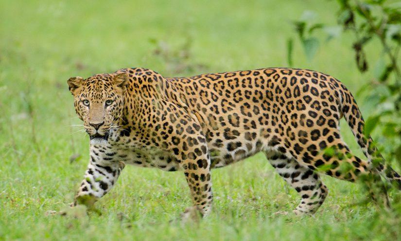 Terrible! Famoso actor fue atacado por un leopardo — FMDOS