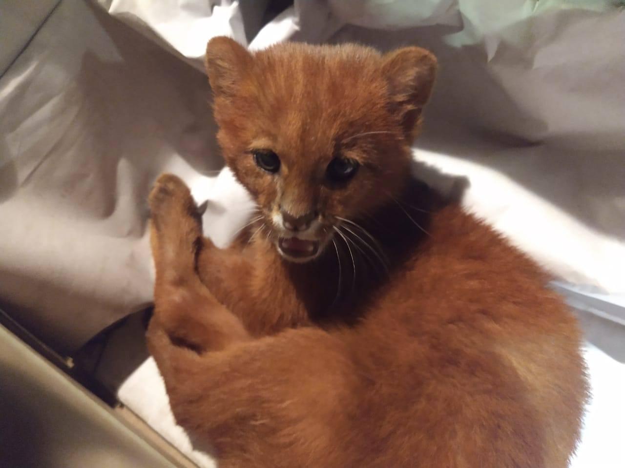 gato encontrado por joven era realmente un felino salvaje