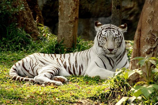 """""""El tigre sin color"""""""