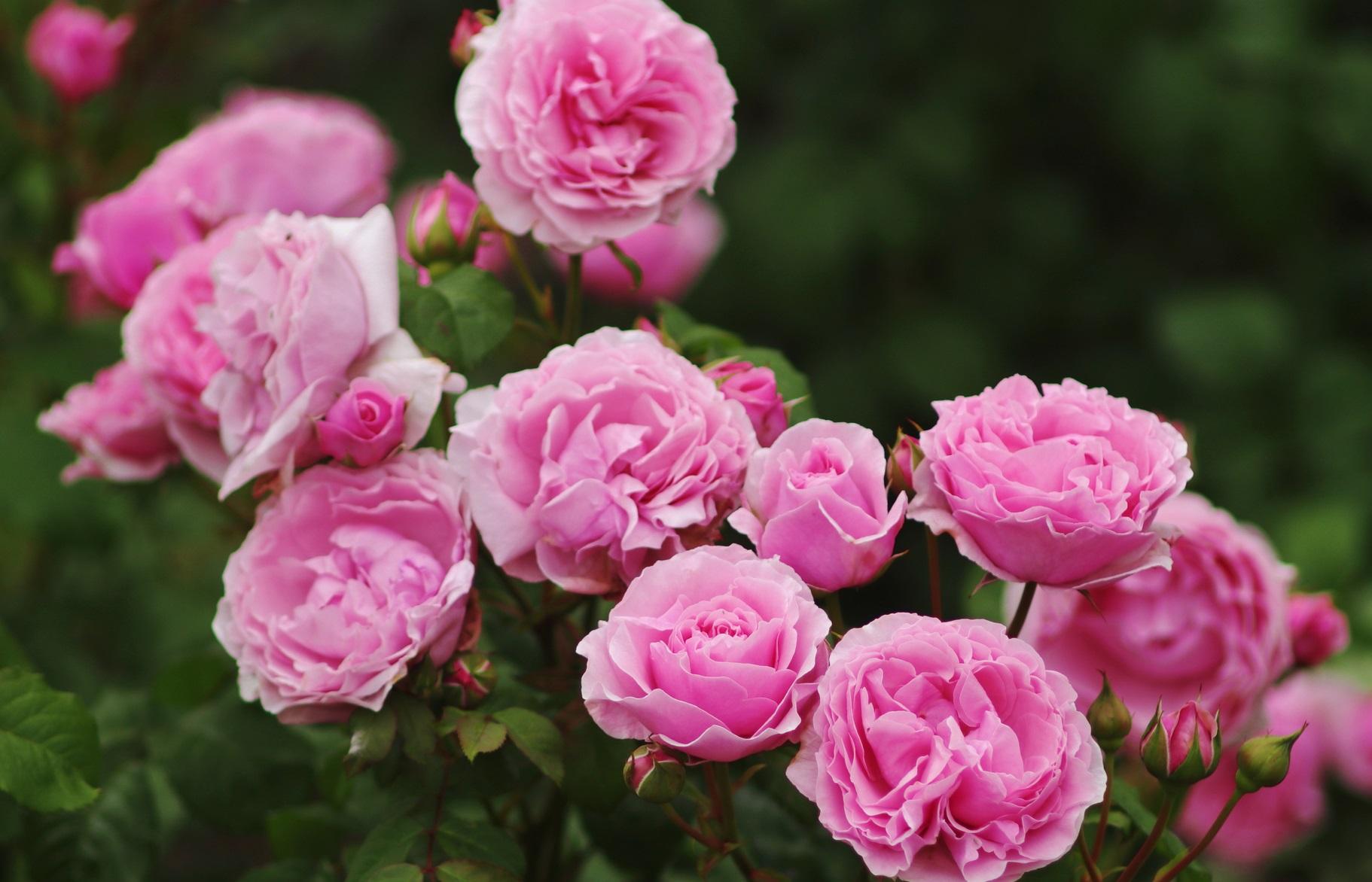 rosas acorde a tu signo zodiacal