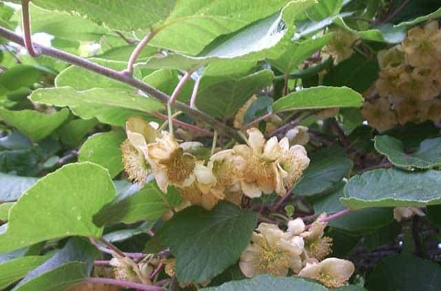 flor de la higuera