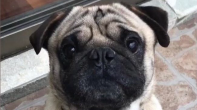 Frank pug