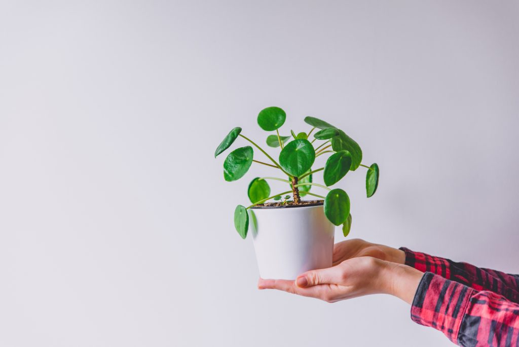 Hands Holding White Flower Pot With Pilea Peperomioides, Known As The Pilea Or Chinese Money Plant. Green Indoor Plant