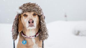 Qué Razas De Perros Pasan Más Frío En El Invierno