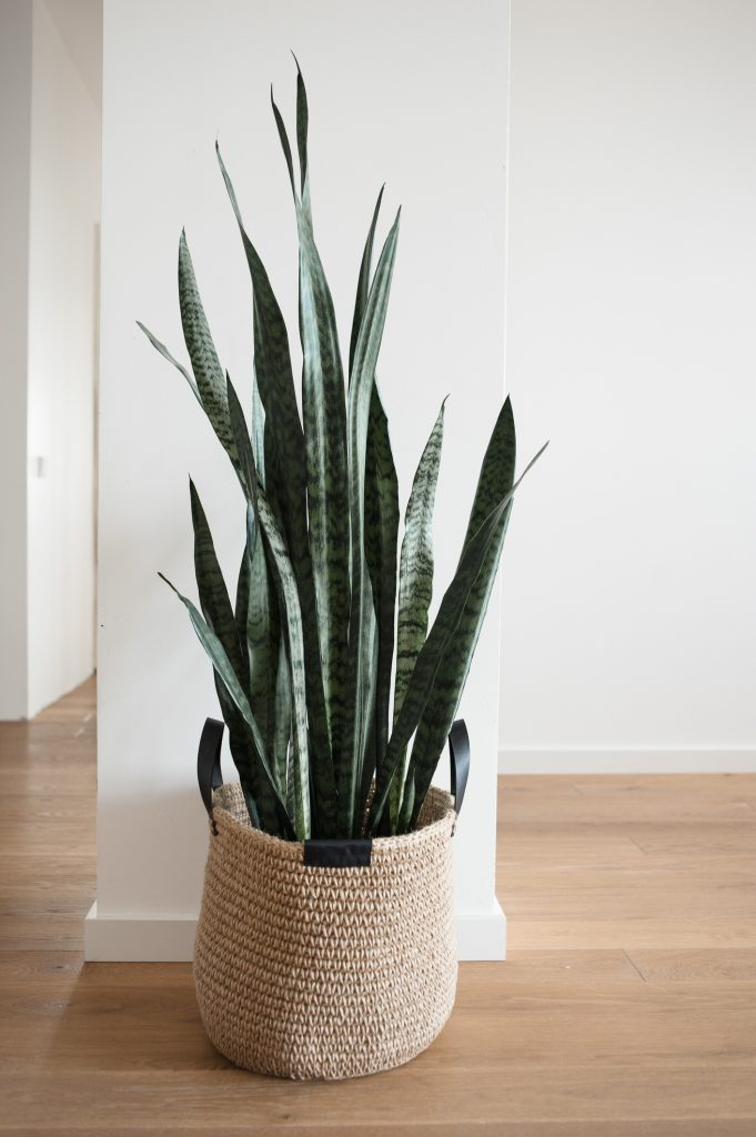 Home Plant In Jute Basket With Handles Stands On Floor In New House.