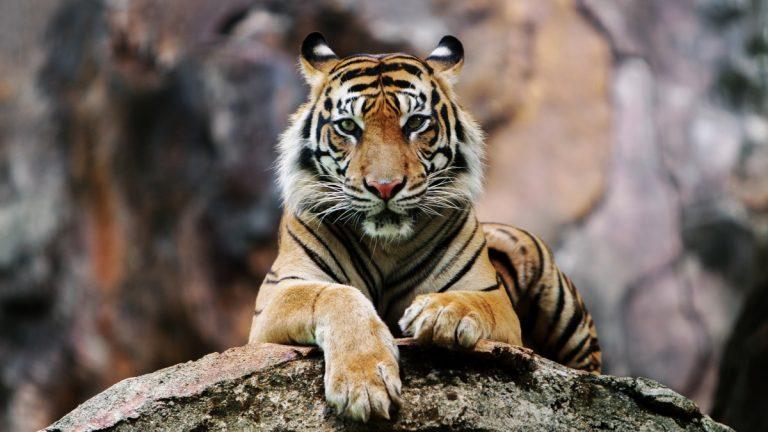Joven Falleció Ataque Tigre