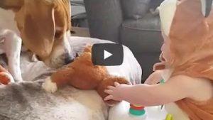 Beagle De Video Viral